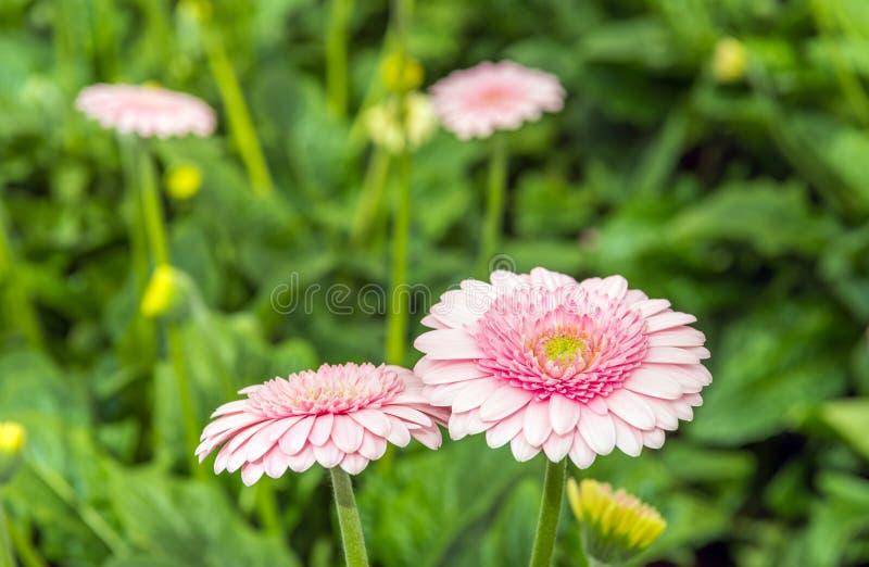 与黄色心脏的浅粉红色的开花的大丁草绽放从clos 免版税库存图片