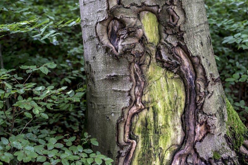 与绿色植物森林的老破裂的蠕动的生苔树皮外皮纹理 库存照片