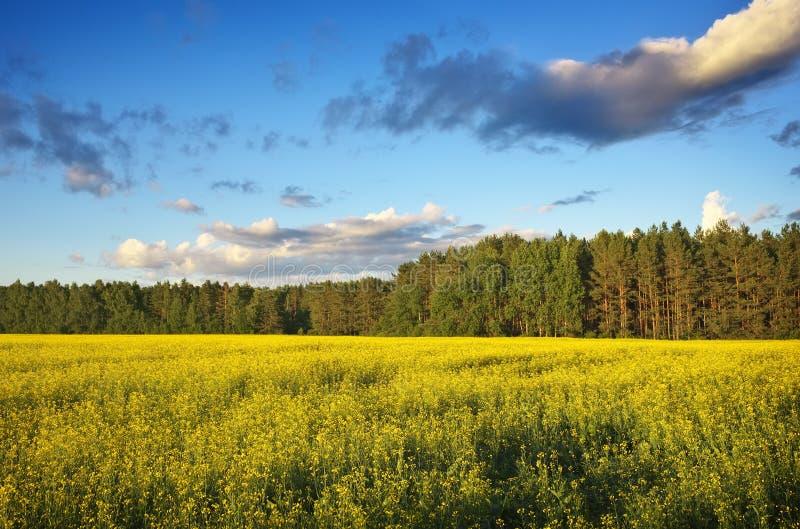 与黄色油菜的领域的美好的风景 免版税库存照片