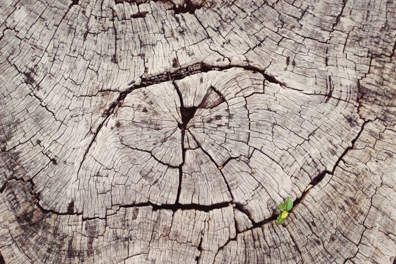与绿色的新鲜的绿色年幼植物新芽在死的日志树把长大留在森林,特写镜头宏观图象射击与纹理 免版税库存照片