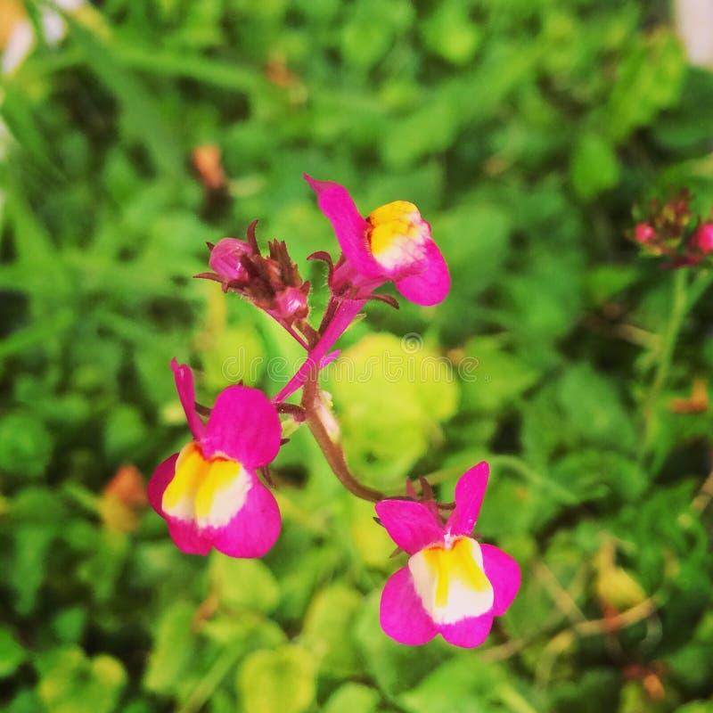 与黄色的桃红色花本质上 免版税库存图片