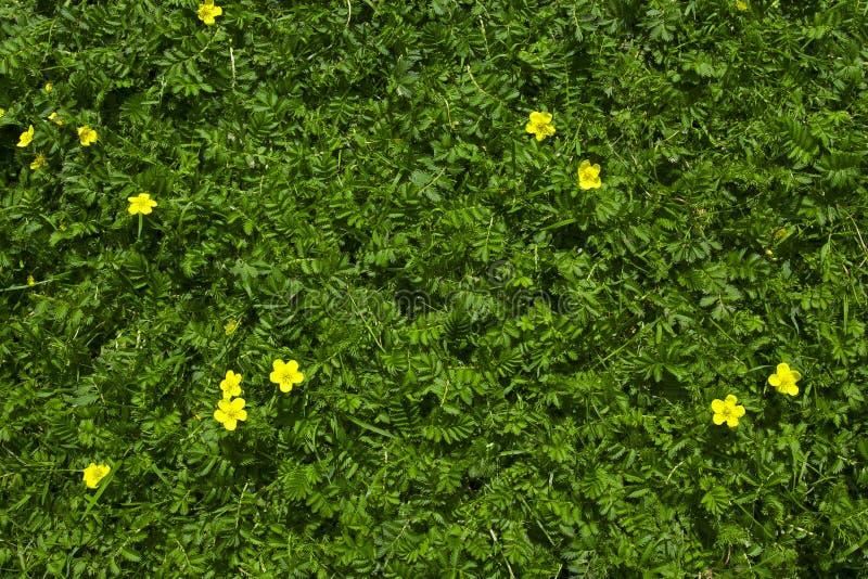 与黄色的鹤金梅绿草开花背景 免版税图库摄影
