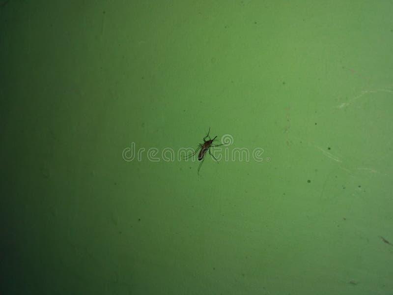 与绿色背景危险的蚊子 免版税库存图片