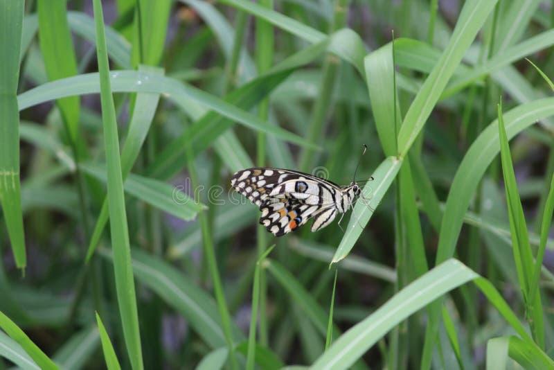与绿色自然的Colirs蝴蝶 免版税库存图片