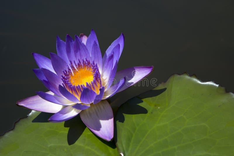 Download 与紫色花的荷花 库存照片. 图片 包括有 室外, 工厂, 外面, 自然, 叶子, 颜色, 从事园艺, 本质 - 72373572