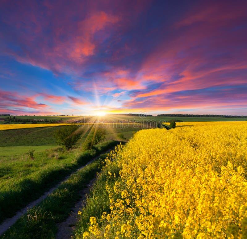 与黄色花的领域的夏天风景 免版税库存图片