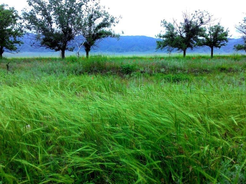 与绿色风草的自然蓝色山 免版税库存照片