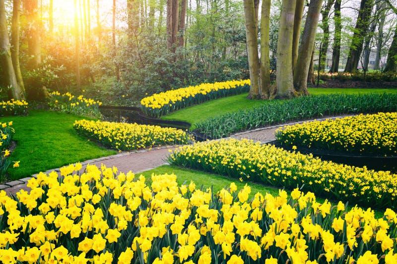 与黄色黄水仙的春天风景。Keukenhof庭院 免版税库存图片