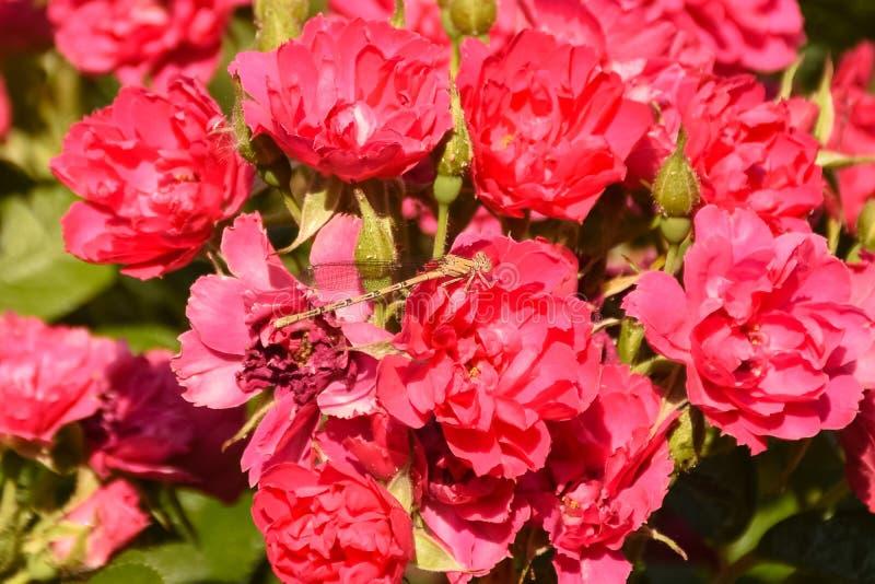 与黄色蜻蜓的桃红色玫瑰 库存图片