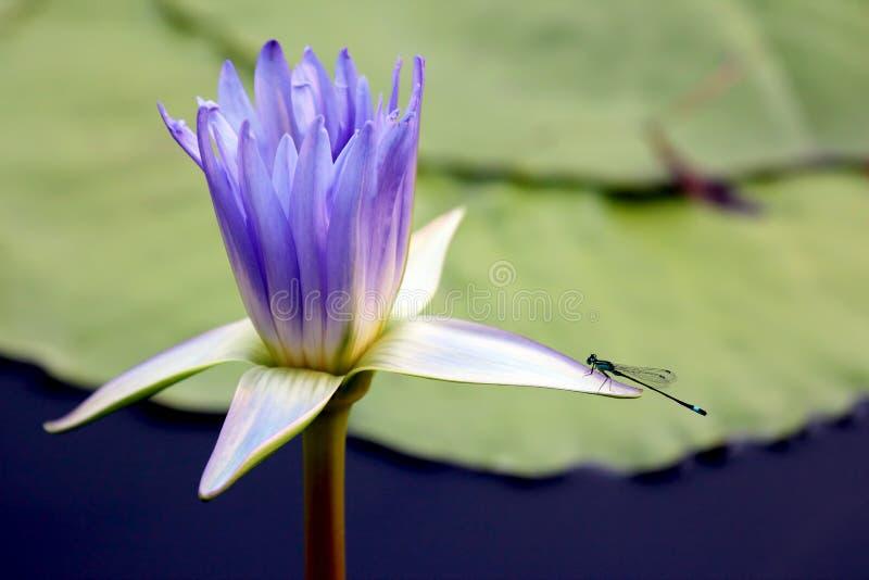 与蜻蜓特写镜头的水多的开花的莲花 库存照片
