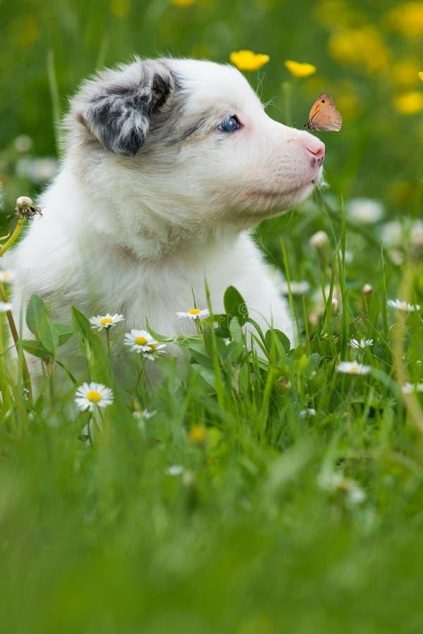 与蝴蝶的博德牧羊犬狗 免版税库存照片