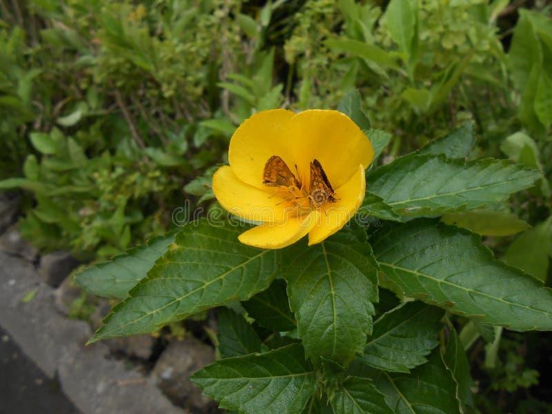 与蝴蝶的黄色花 免版税库存图片
