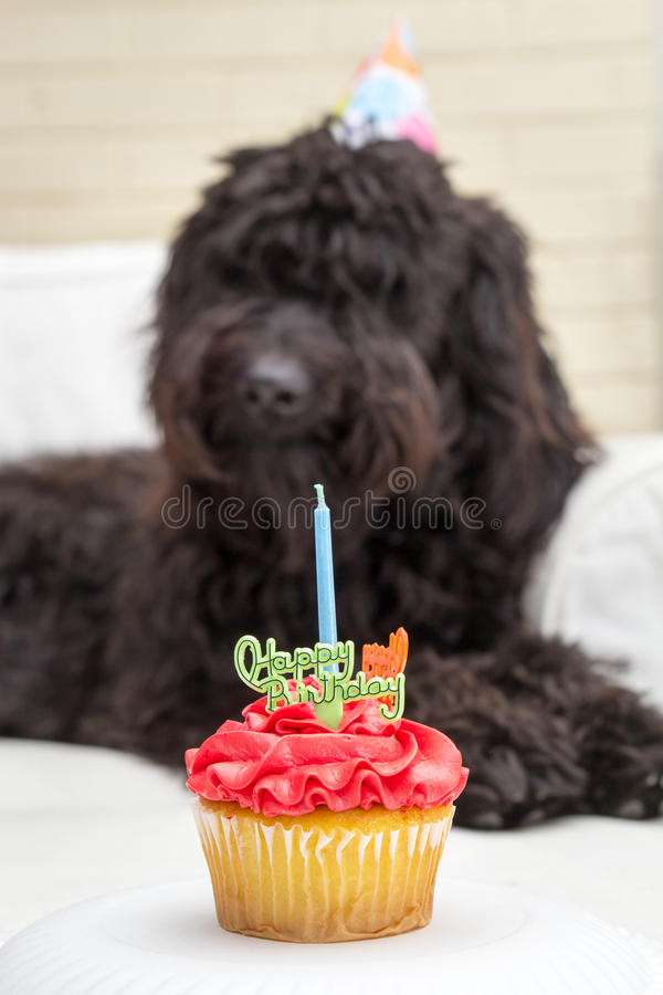 与说谎在白色椅子的蜡烛和黑毛茸的狗的杯形蛋糕在背景中戴一个生日聚会帽子 免版税库存照片