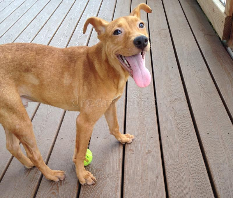 与黏附它的舌头的网球的幼小棕色狗 图库摄影