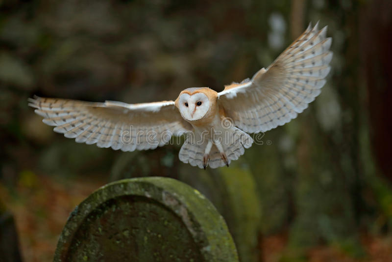 与登陆在墓石的精密翼的谷仓猫头鹰 免版税库存照片