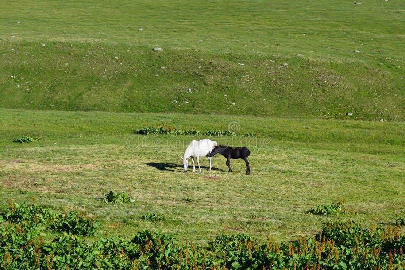 与黑马驹的白色母马在绿色草甸 免版税图库摄影