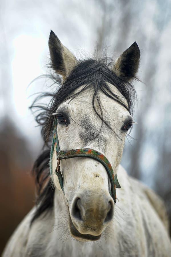 与黑鬃毛的白马 库存照片