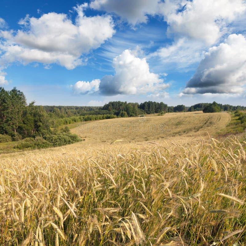 与黑麦和蓝天的领域的夏天风景 免版税图库摄影