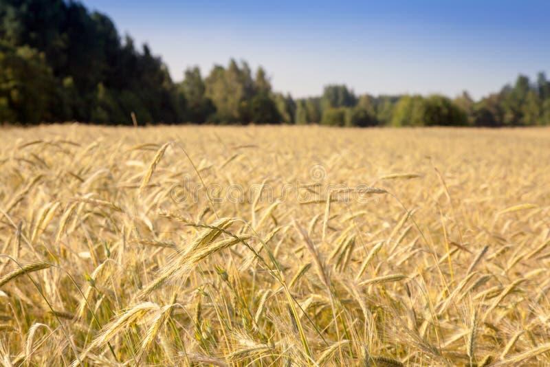 与黑麦的领域的夏天风景 免版税库存图片