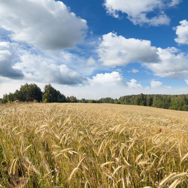 与黑麦的黄色领域的夏天风景 图库摄影