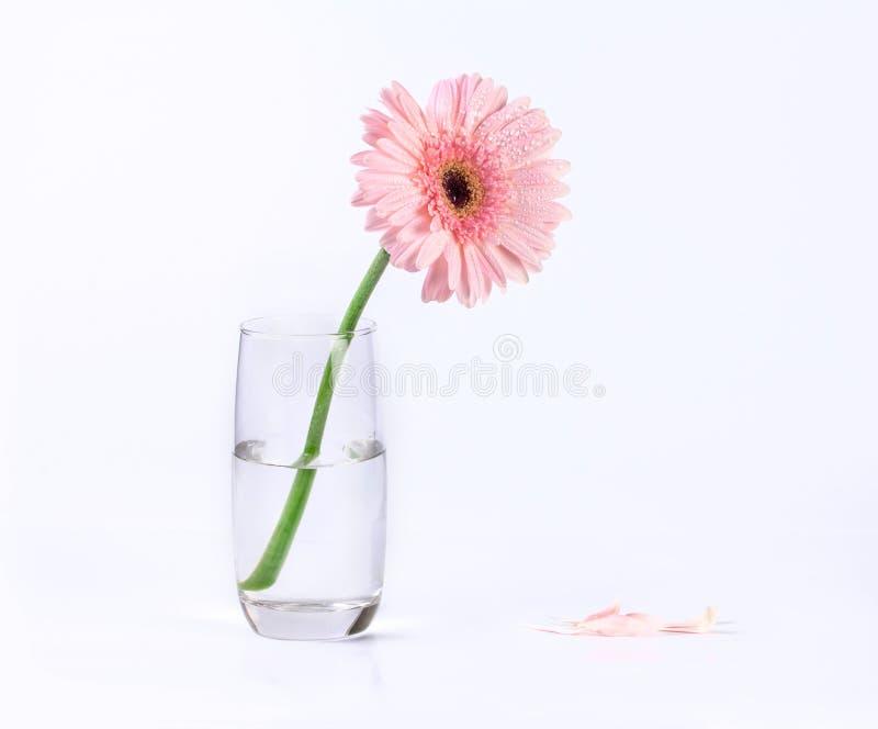 与水滴,浪漫和fre的甜桃红色大丁草花 库存图片