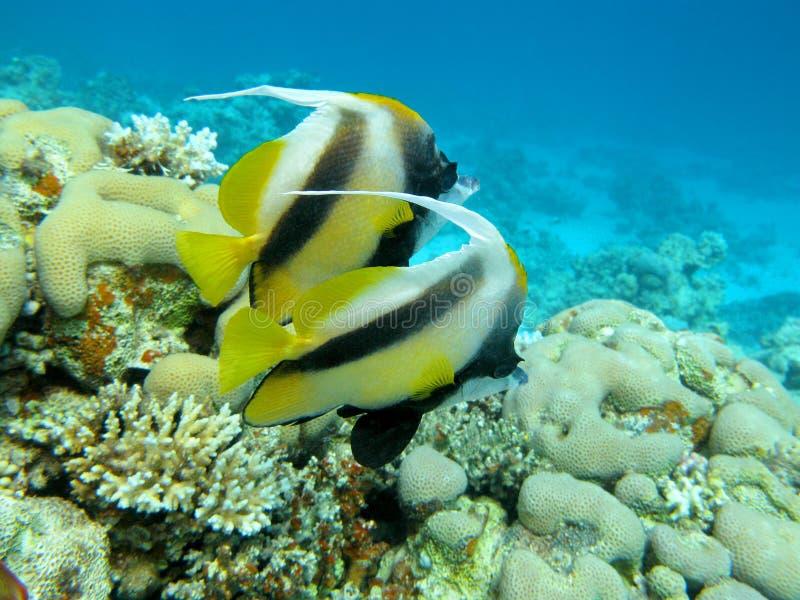 与bannerfishes夫妇的珊瑚礁在热带海 库存照片