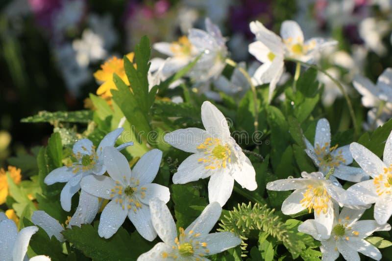 与bokeh和下落,在bokeh背景的抽象早期的花的春天覆盖物在日出, 库存照片