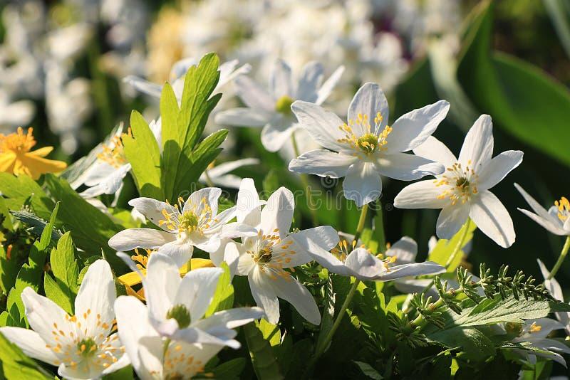 与bokeh和下落,在bokeh背景的抽象早期的花的春天覆盖物在日出, 免版税库存图片