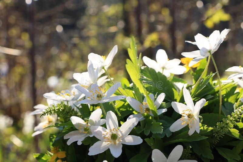 与bokeh和下落,在bokeh背景的抽象早期的花的春天覆盖物在日出, 库存图片