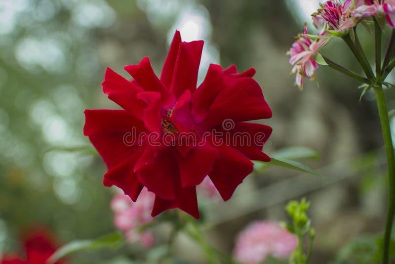 与Bokeh的美丽的热带红色花特写镜头 图库摄影