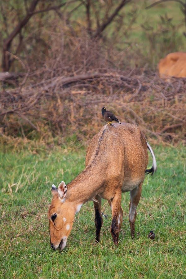 与Brahminy myna的母大羚羊坐她在Keoladeo Nati 库存图片