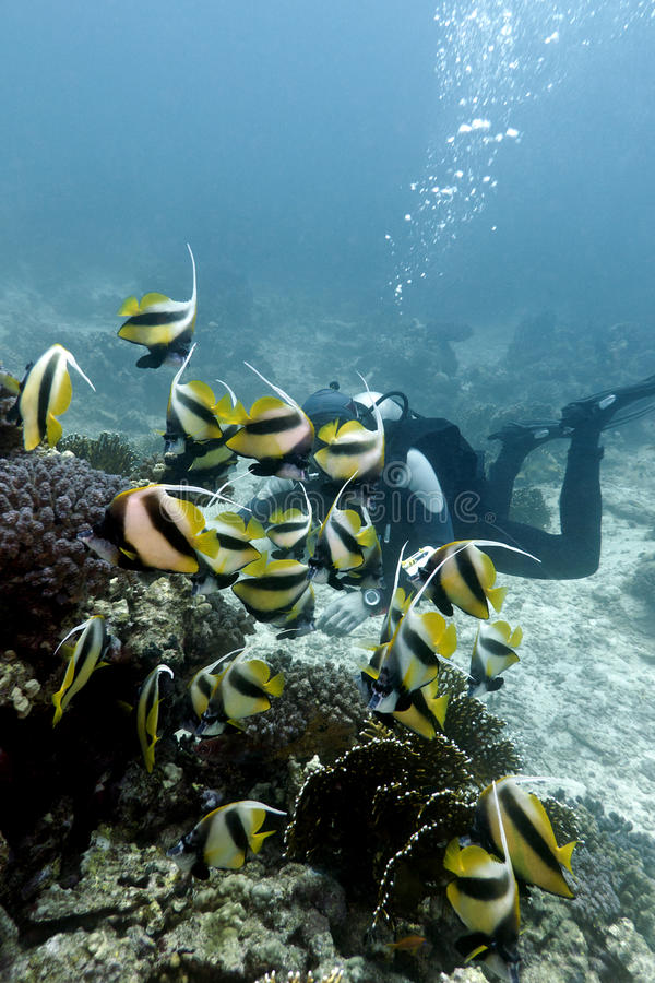与buterflyfishes的红色se的珊瑚礁和潜水员 免版税图库摄影