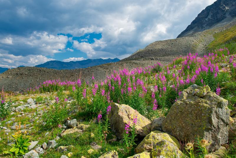 与Chamerion angustifolium的高山风景开花  免版税库存图片