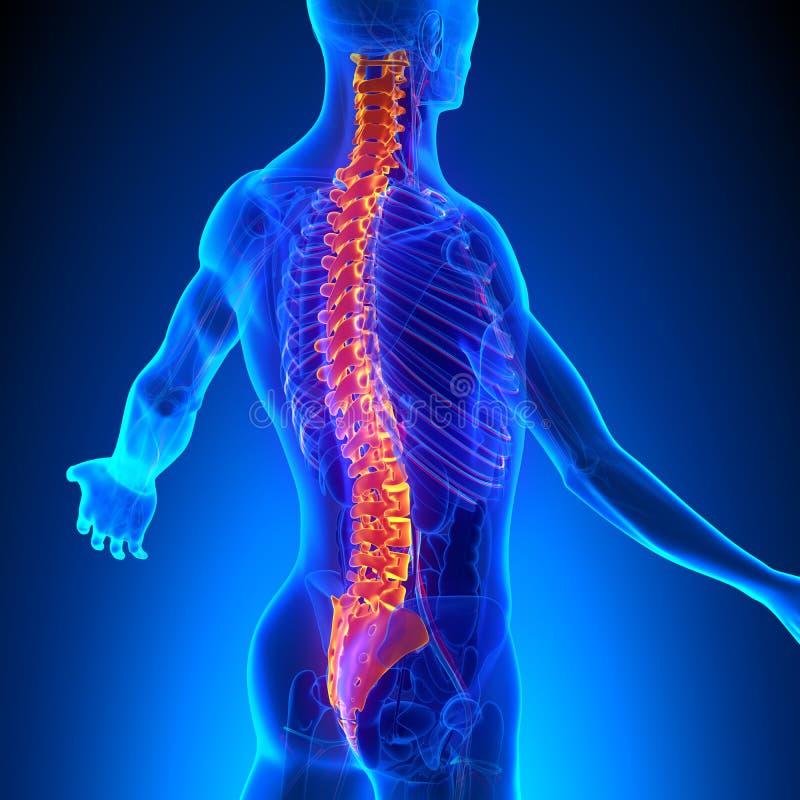 与Ciculatory系统的椎骨解剖学 向量例证