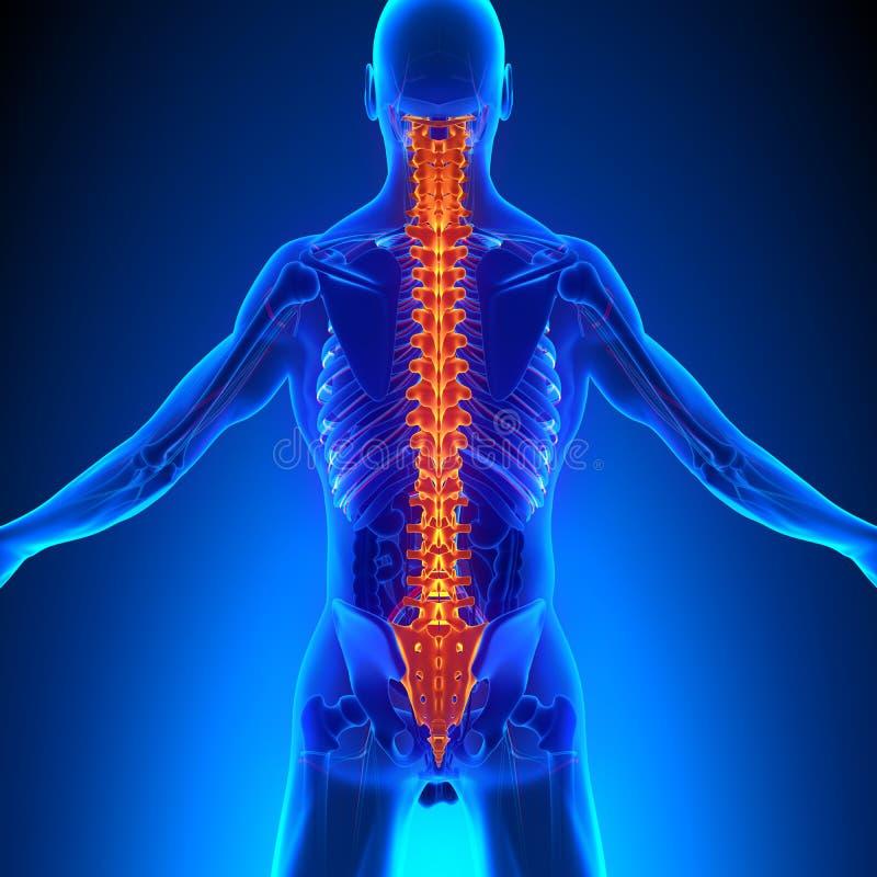 与Ciculatory系统的脊椎解剖学 向量例证