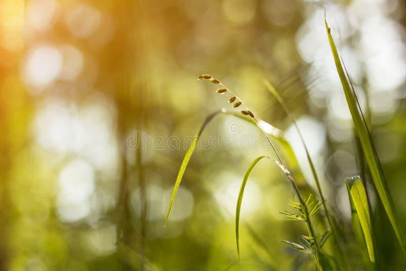 与copyspace的抽象自然bokeh背景 草地早熟禾和植物特写镜头在阳光下 免版税库存照片
