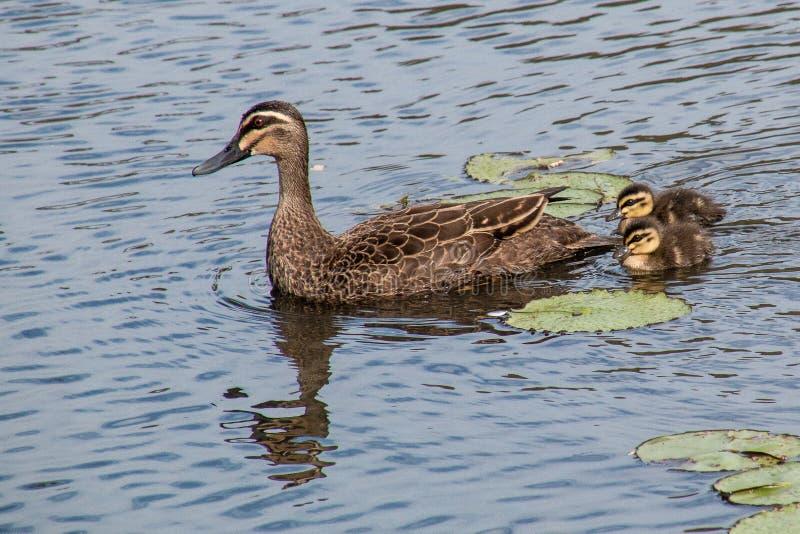 与duclings的和平的黑鸭 免版税库存图片