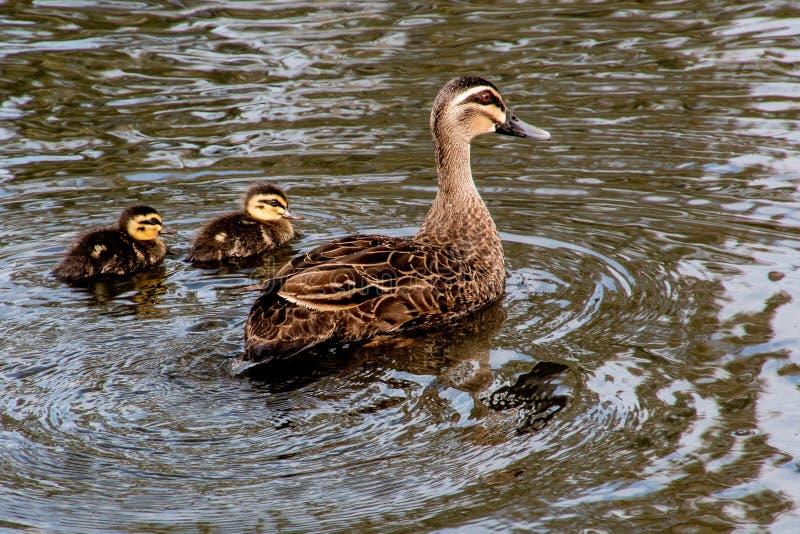 与duclings的和平的黑鸭 免版税库存照片