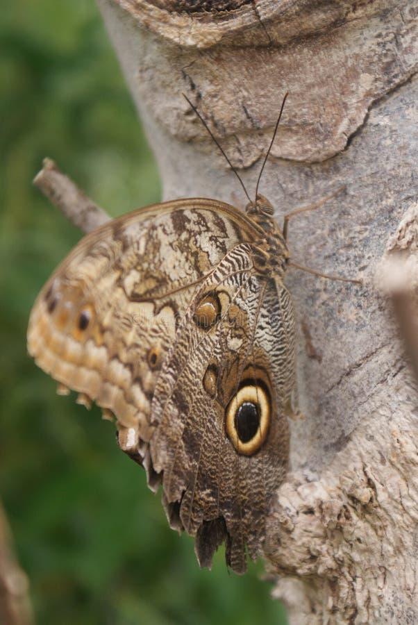 与gaint眼珠的布朗蝴蝶 库存照片