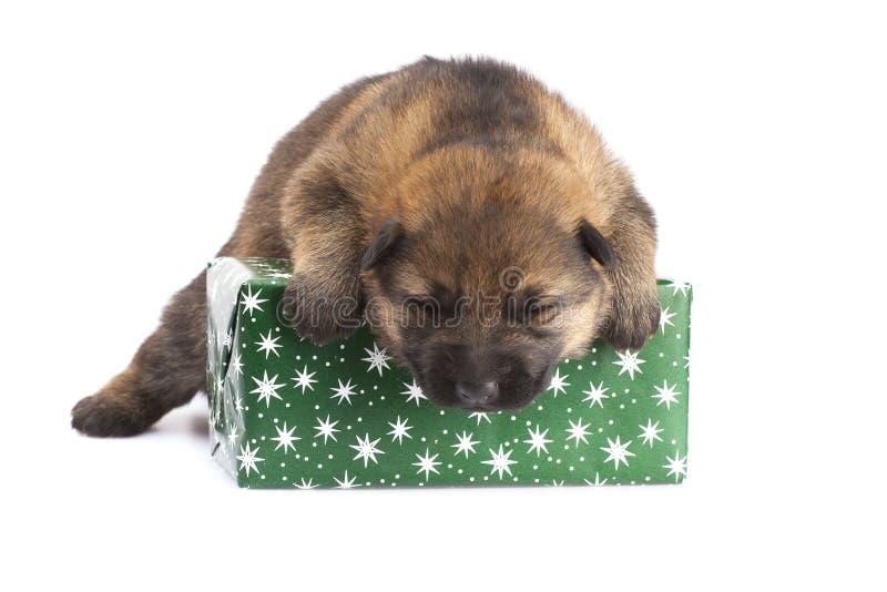 与giftbox的护羊狗小狗 免版税库存图片