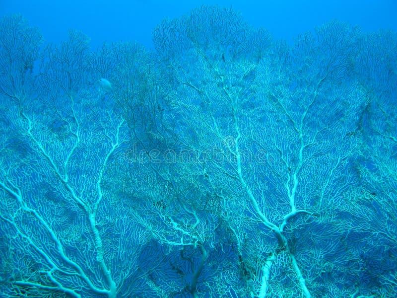 与gorgonian的珊瑚礁在大海backgrou的热带海 免版税图库摄影