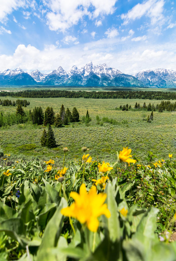 与Gran Teton国家公园的黄色花 免版税图库摄影