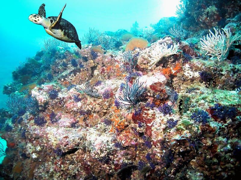 与Hawksbill海龟的和平的珊瑚礁 库存照片