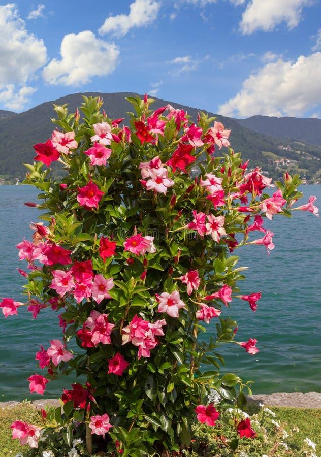 与mandevilla的美丽的花盆红色和桃红色在巴伐利亚人 免版税库存图片