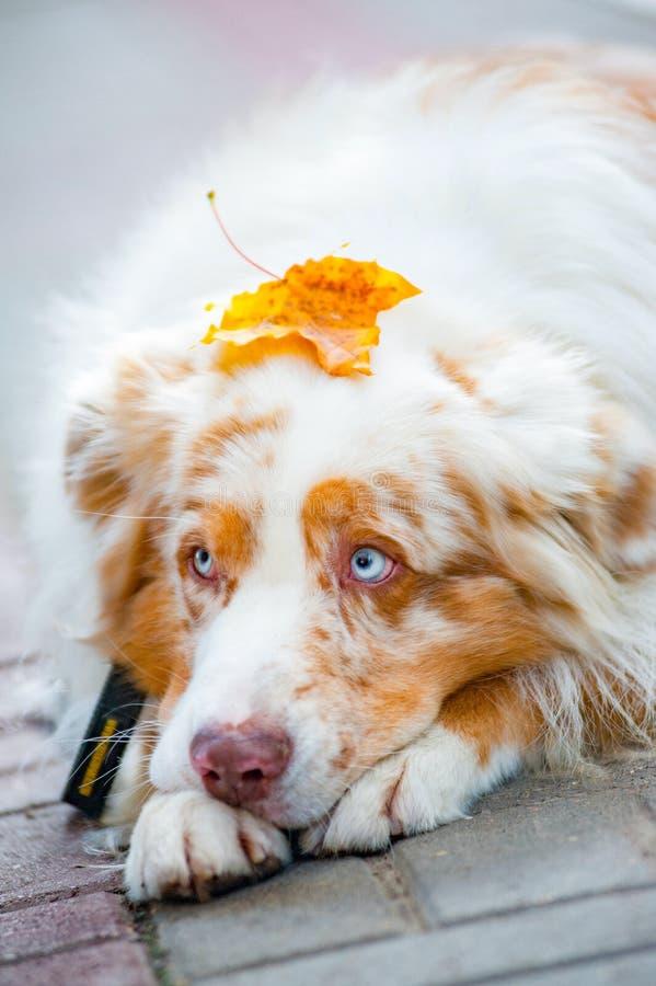 与mapple叶子的狗在头 库存图片
