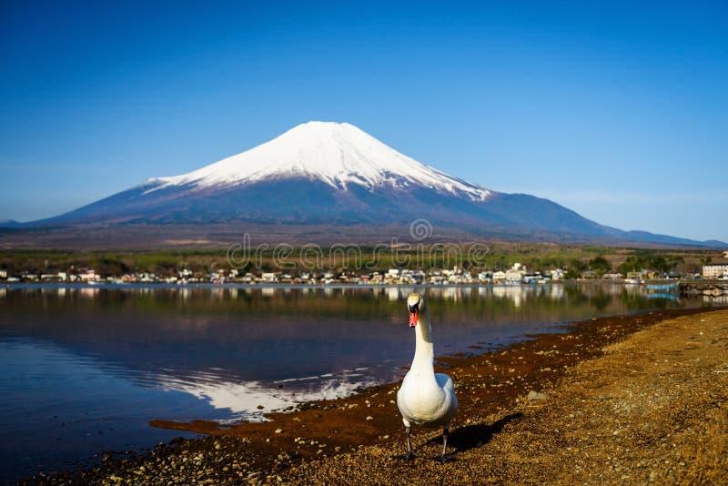 与Mt富士, Yamanaka湖的白色天鹅 图库摄影