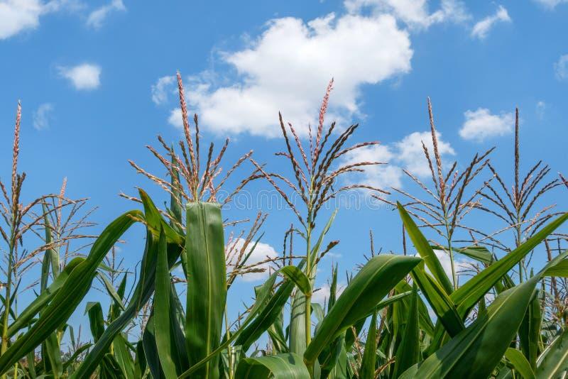 与panicles的玉米 库存照片