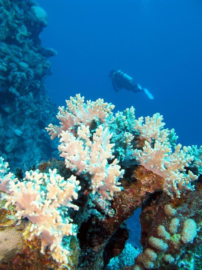 与sof珊瑚和潜水者的珊瑚礁,水下 库存图片
