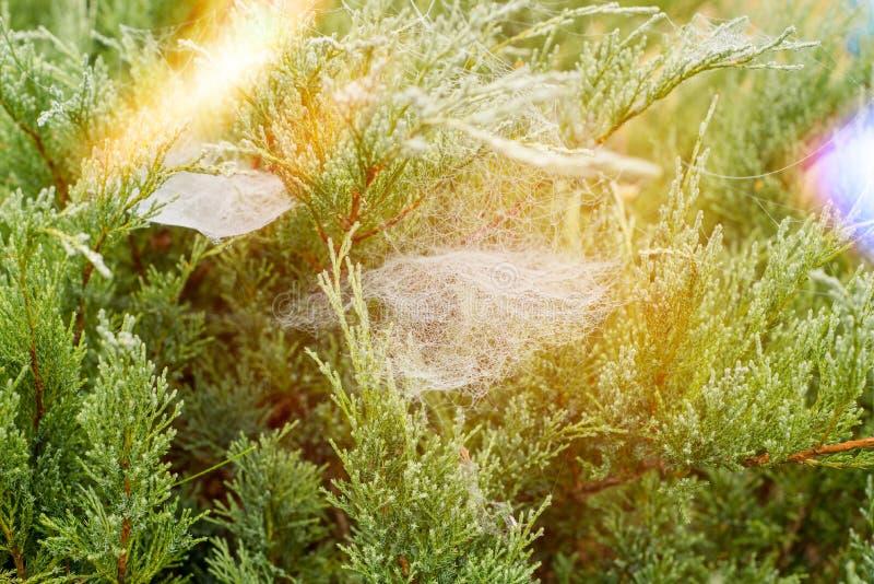 与spiderweb和一只小蜘蛛的云杉的分支 秋天,有蜘蛛网的云杉的枝杈的颜色 杉木森林自然背景 库存图片