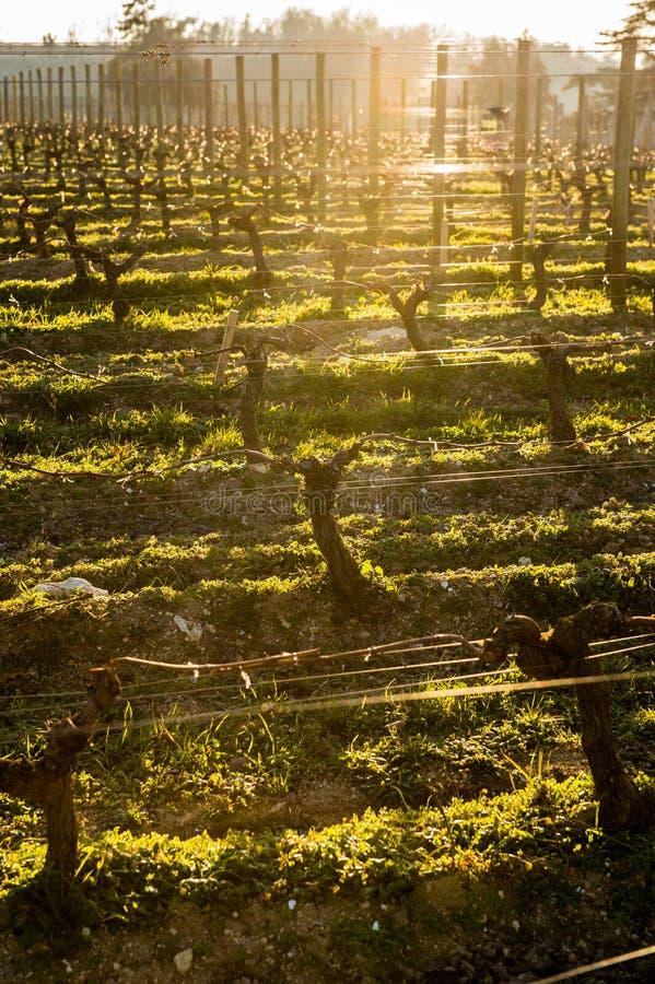 与sunlights的年轻分支在红葡萄酒葡萄园里 免版税库存图片